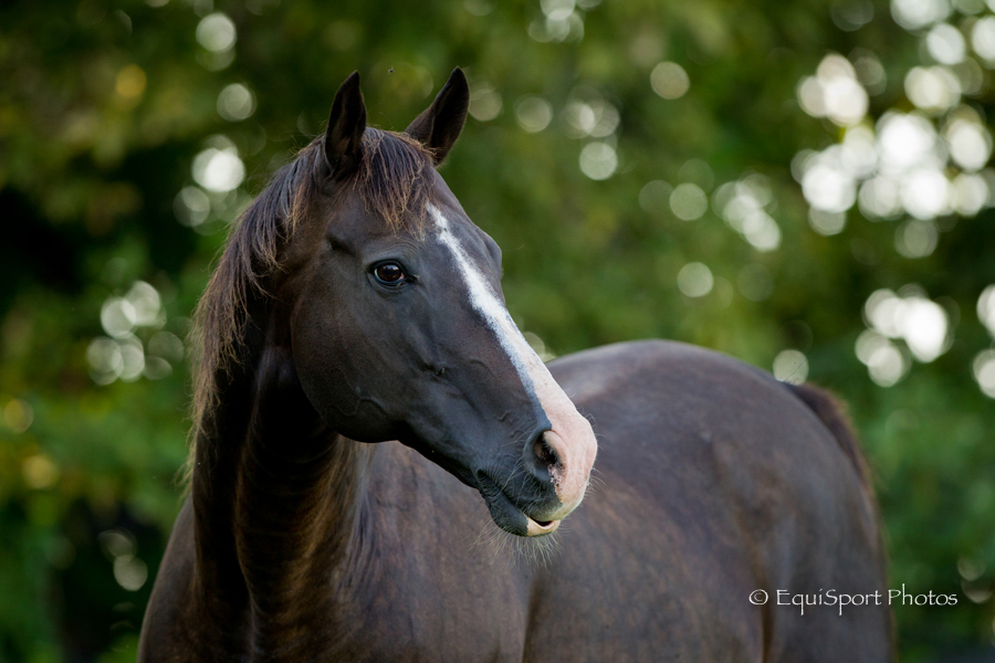 Williamstown, the horse  - Photo by EquiSport Photos